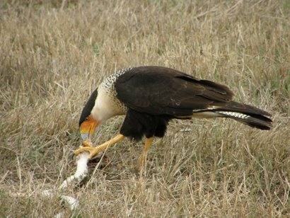 Caracara feeding on snake