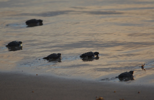 TX -  Baby sea turtles at sea