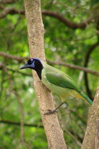 Green Jay at Laguna Atascosa National Wildlife Refuge