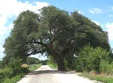 The Wedding Oak, San Saba
