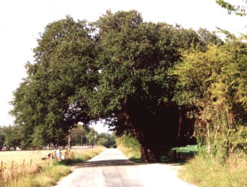 The Matrimonial Oak of San Saba County