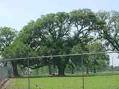 TX Brazoria County Oak