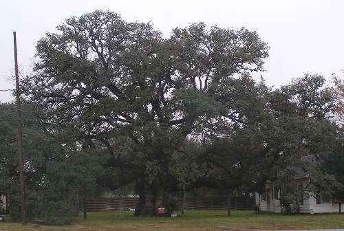 Columbus oak texas second largest tree tx famous tree columbus oak sciox Choice Image